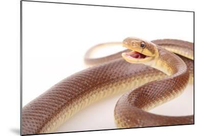 An Aesculapian Snake in a Defense Posture-Joe Petersburger-Mounted Photographic Print