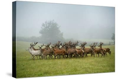 A Herd of Deer on a Farm in Auchtermuchty-Jim Richardson-Stretched Canvas Print