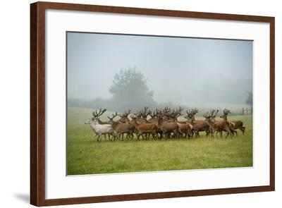 A Herd of Deer on a Farm in Auchtermuchty-Jim Richardson-Framed Photographic Print