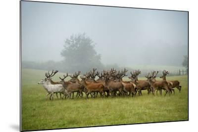 A Herd of Deer on a Farm in Auchtermuchty-Jim Richardson-Mounted Photographic Print