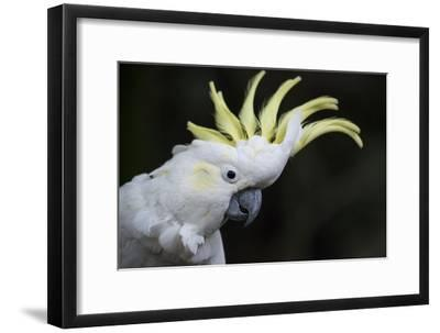 Portrait of a Sulphur-Crested Cockatoo-Michael Melford-Framed Photographic Print