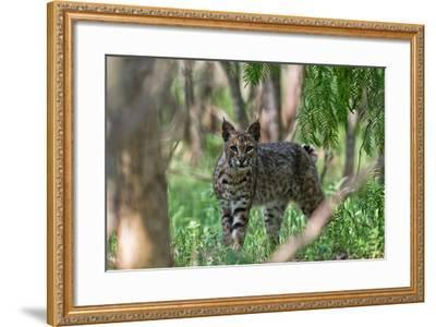 Portrait of a Wild Bobcat, Lynx Rufus-Karine Aigner-Framed Photographic Print