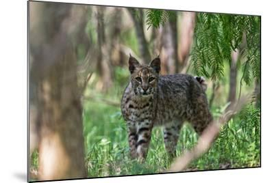 Portrait of a Wild Bobcat, Lynx Rufus-Karine Aigner-Mounted Photographic Print
