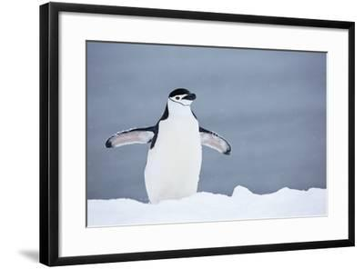 A Chinstrap Penguin Walking in a Snow Shower-Ira Meyer-Framed Photographic Print