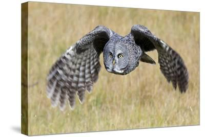 A Great Gray Owl's Wings are Preparing to Expand Out-Barrett Hedges-Stretched Canvas Print