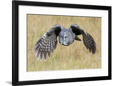 A Great Gray Owl's Wings are Preparing to Expand Out-Barrett Hedges-Framed Photographic Print