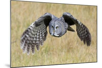 A Great Gray Owl's Wings are Preparing to Expand Out-Barrett Hedges-Mounted Photographic Print