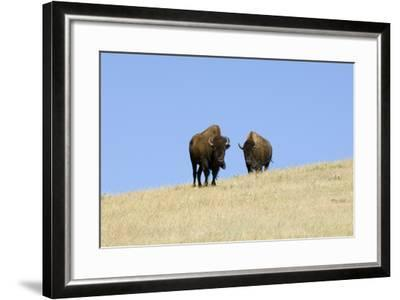 Two American Bison, Bison Bison, on the Top of an Hill-Sergio Pitamitz-Framed Photographic Print