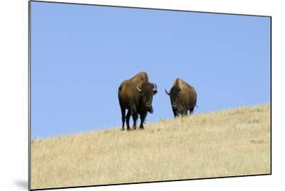Two American Bison, Bison Bison, on the Top of an Hill-Sergio Pitamitz-Mounted Photographic Print