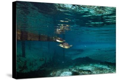 A Turtle Swimming after a Mate in Clear Blue Water-Joshua Howard-Stretched Canvas Print