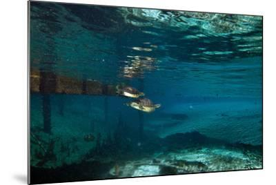 A Turtle Swimming after a Mate in Clear Blue Water-Joshua Howard-Mounted Photographic Print