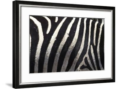 The Flank of a Zebra Showing its Stripes-Michael Melford-Framed Photographic Print