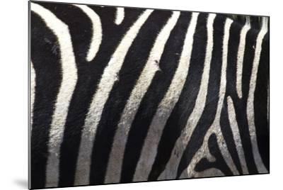 The Flank of a Zebra Showing its Stripes-Michael Melford-Mounted Photographic Print