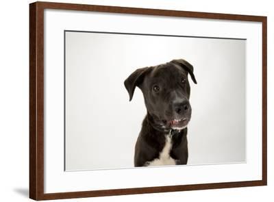A Studio Portrait of Brody, a Lab Mix-Joel Sartore-Framed Photographic Print
