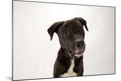 A Studio Portrait of Brody, a Lab Mix-Joel Sartore-Mounted Photographic Print