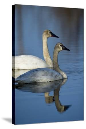 A Pair of Trumpeter Swans, Cygnus Buccinator, Swimming-Michael S^ Quinton-Stretched Canvas Print