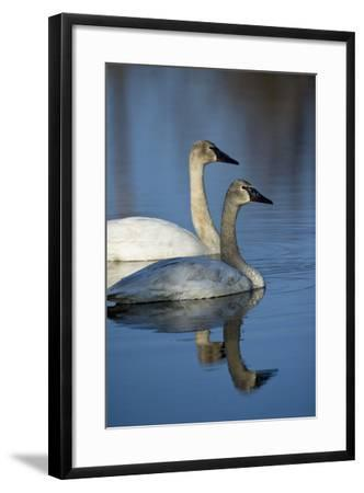 A Pair of Trumpeter Swans, Cygnus Buccinator, Swimming-Michael S^ Quinton-Framed Photographic Print