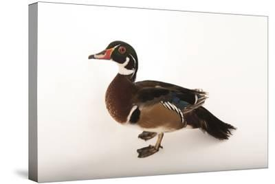 A Wood Duck, Aix Sponsa, at the Lincoln Children's Zoo-Joel Sartore-Stretched Canvas Print