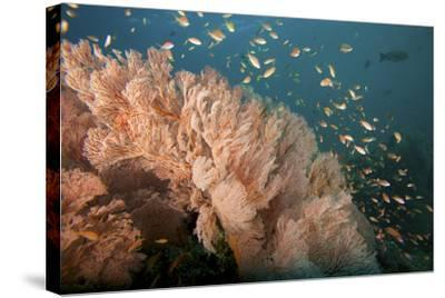 Reef Scene of Sea Fans and Schools of Anthias Fish-Tim Laman-Stretched Canvas Print
