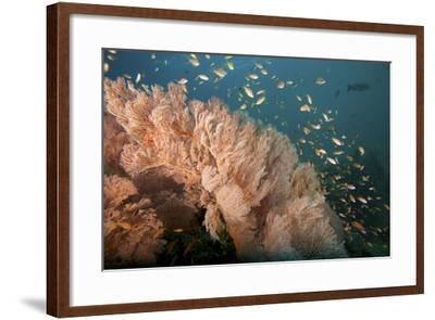 Reef Scene of Sea Fans and Schools of Anthias Fish-Tim Laman-Framed Photographic Print