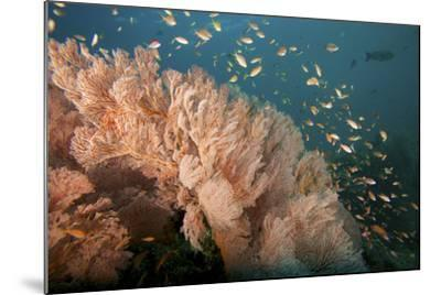 Reef Scene of Sea Fans and Schools of Anthias Fish-Tim Laman-Mounted Photographic Print