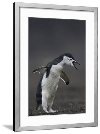 Chinstrap Penguin, Pygoscelis Antarctica, Portrait-Tim Laman-Framed Photographic Print