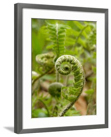 A Fiddlehead Fern Beginning to Uncurl-Amy and Al White and Petteway-Framed Photographic Print