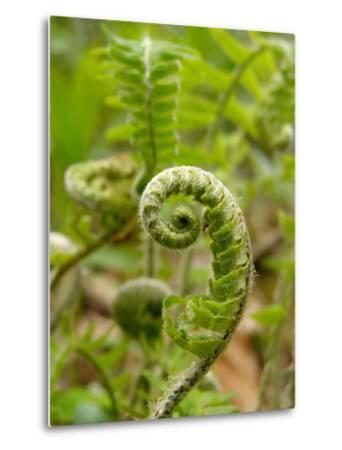 A Fiddlehead Fern Beginning to Uncurl-Amy and Al White and Petteway-Metal Print
