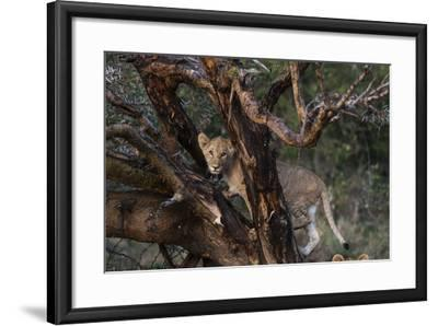 A Lion Cub, Panthera Leo, Climbing in an Acacia Tree-Sergio Pitamitz-Framed Photographic Print