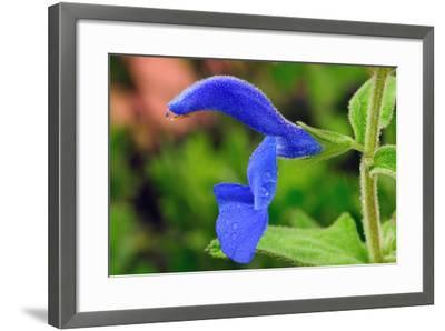 Close Up of a Blue Salvia Flower with Water Drops-Darlyne A^ Murawski-Framed Photographic Print