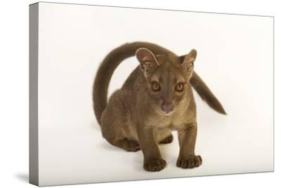 A One-Year-Old Fossa, Cryptoprocta Ferox-Joel Sartore-Stretched Canvas Print