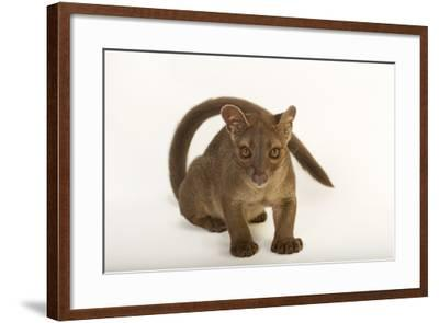 A One-Year-Old Fossa, Cryptoprocta Ferox-Joel Sartore-Framed Photographic Print