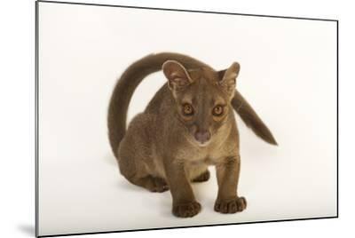A One-Year-Old Fossa, Cryptoprocta Ferox-Joel Sartore-Mounted Photographic Print