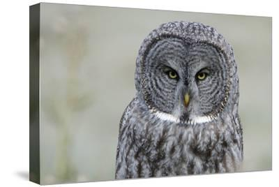 The Face of a Great Gray Owl Looking for Food-Barrett Hedges-Stretched Canvas Print