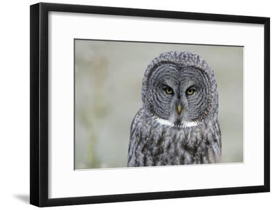 The Face of a Great Gray Owl Looking for Food-Barrett Hedges-Framed Photographic Print