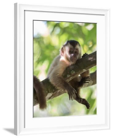 A Young Black Capped Capuchin Monkey Rests on a Tree-Alex Saberi-Framed Photographic Print