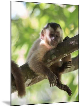 A Young Black Capped Capuchin Monkey Rests on a Tree-Alex Saberi-Mounted Photographic Print