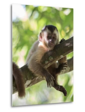 A Young Black Capped Capuchin Monkey Rests on a Tree-Alex Saberi-Metal Print