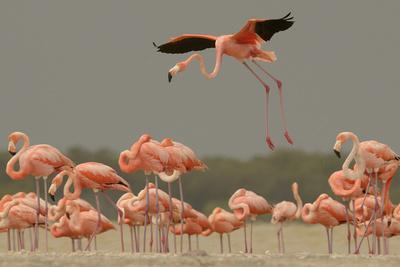 A Caribbean Flamingo Lands in the Breeding Colony-Klaus Nigge-Framed Photographic Print