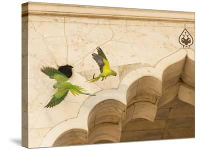 Ring Necked Parrots at Agra Fort-Michael Melford-Stretched Canvas Print