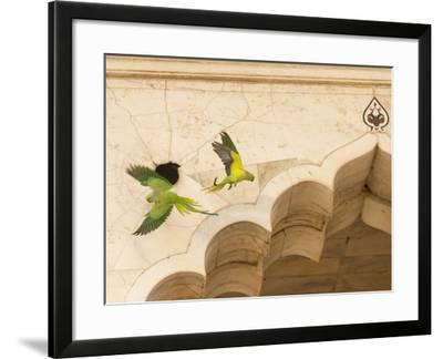 Ring Necked Parrots at Agra Fort-Michael Melford-Framed Photographic Print