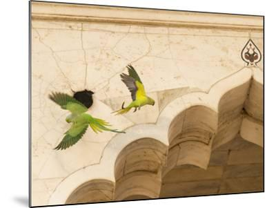 Ring Necked Parrots at Agra Fort-Michael Melford-Mounted Photographic Print