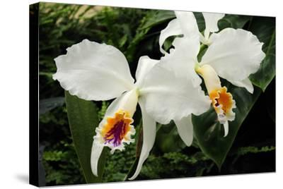 Close Up of Two Cattleya Orchids-Darlyne A^ Murawski-Stretched Canvas Print