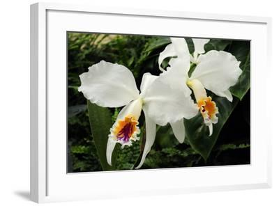 Close Up of Two Cattleya Orchids-Darlyne A^ Murawski-Framed Photographic Print