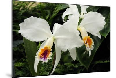 Close Up of Two Cattleya Orchids-Darlyne A^ Murawski-Mounted Photographic Print