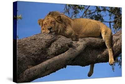 A Male Lion Sleeping in a Tree-Beverly Joubert-Stretched Canvas Print