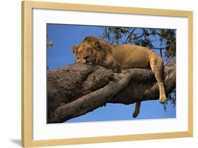 A Male Lion Sleeping in a Tree-Beverly Joubert-Framed Photographic Print