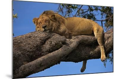 A Male Lion Sleeping in a Tree-Beverly Joubert-Mounted Photographic Print