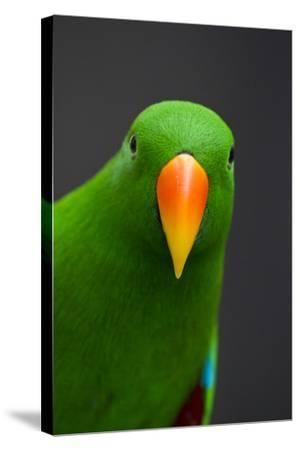 A Male Eclectus Parrot-Michael Melford-Stretched Canvas Print