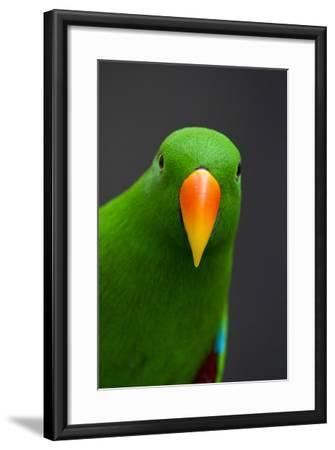 A Male Eclectus Parrot-Michael Melford-Framed Photographic Print